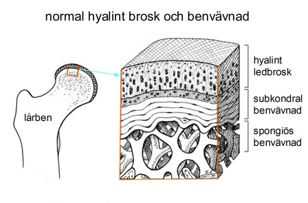 normal hyalint brosk