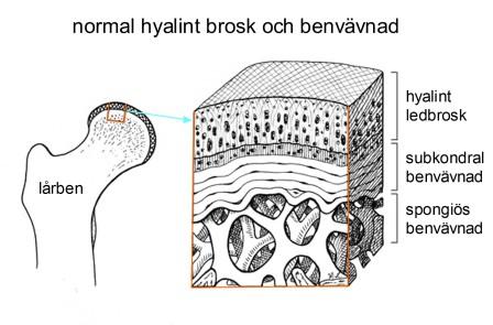 normal hyalint brosk